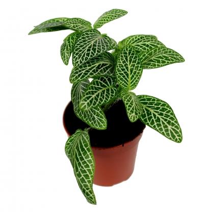 Fittonia verschaffeltii -zielona odmiana