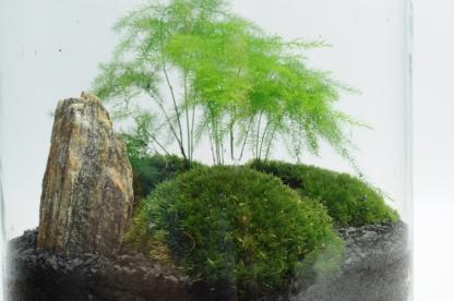 Asparagus pierzasty 'Plumosus' - Asparagus setaceus