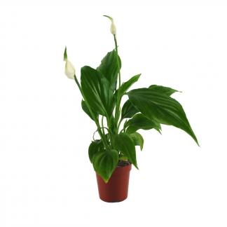 skrzydłokwiat -spatiphyllum