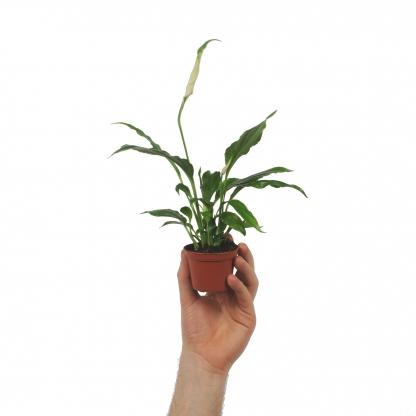 Skrzydłokwiat - spatiphyllum