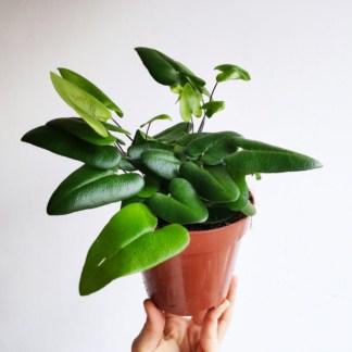 hemionitis arifolia nagółka jarzębolistna 12 cm zielony słoik