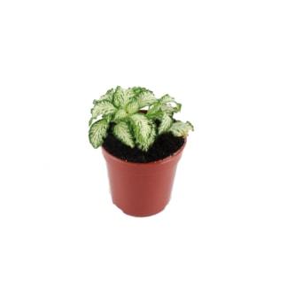 Widliczka (Selaginella apoda)