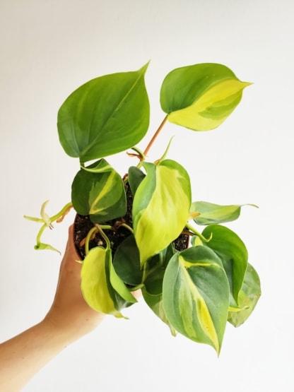 filodendron pnący brasil zielony słoik