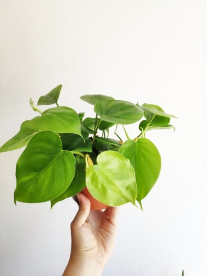 philodendron scandens zielony sloik