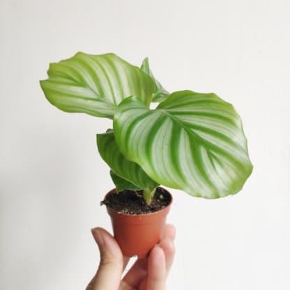 calathea orbifolia - kalatea okrągłolistna