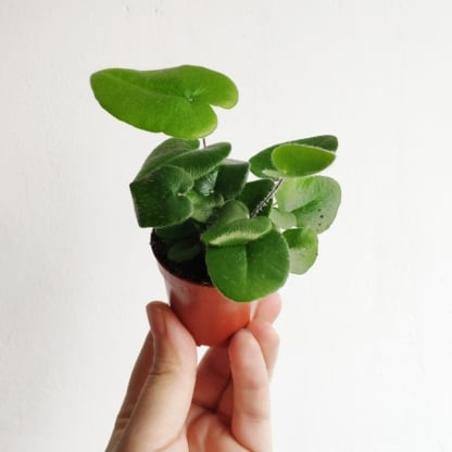 hemionitis arifolia zielony słoik
