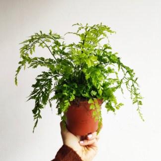 asplenium bulbiferum suze