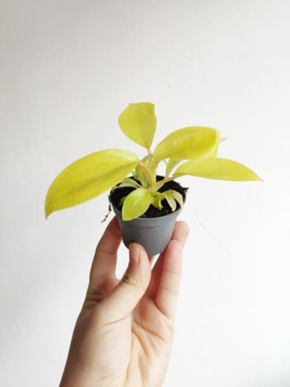 philodendron żółty