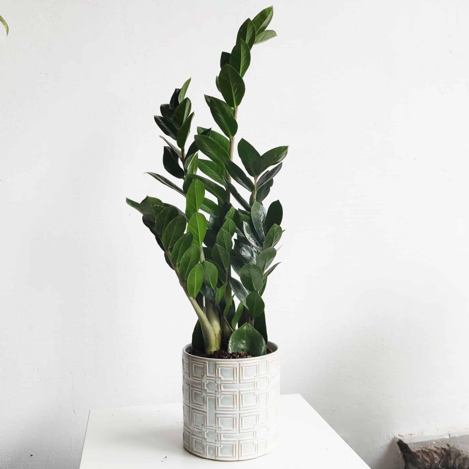 jakie rośliny wdomu zamiokulkas