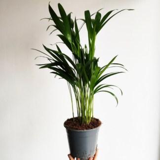 palma areka - chrysalidocarpus lutescens