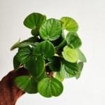 peperomia albovittata Rana Verde - Zielony Słoik