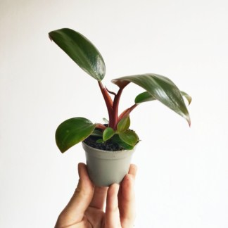 filodendron rojo congo mini