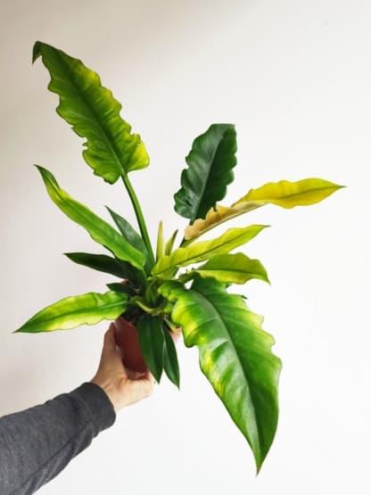 filodendron narrow escape