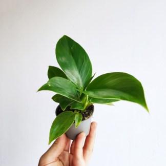 filodendron imperial green mini