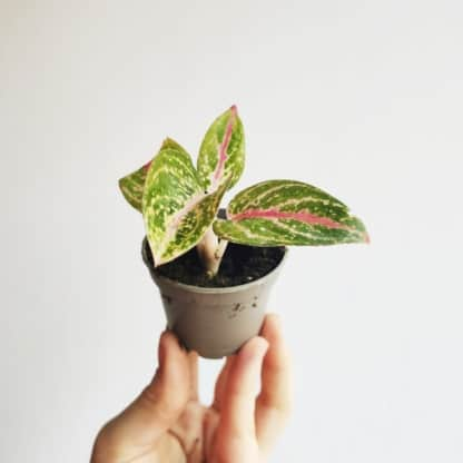 Aglaonema Shining Star