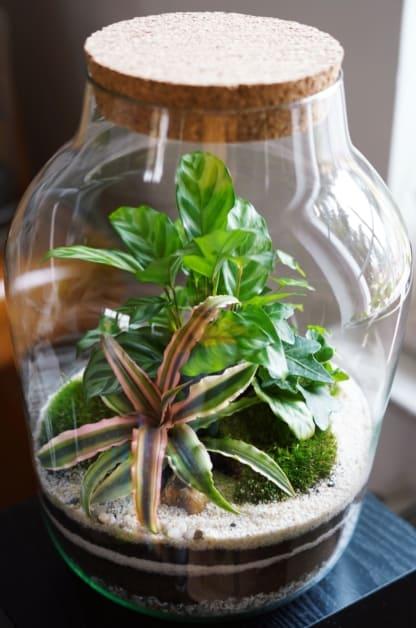 calathea Freddy terrarium
