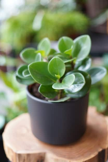 peperomia obtusifolia greeen gold zielony słoik
