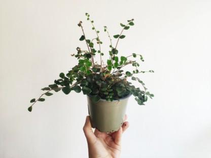 pellaea rotundifolia ciemnotka okrągłolistna P12 zielony słoik