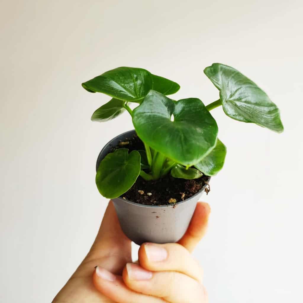philodendron selloum atom filodendron