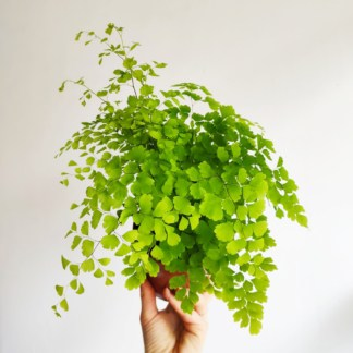 adiantum raddianum fragrans