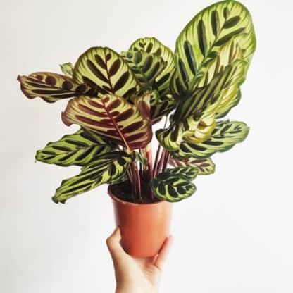calathea makoyana zielony słoik