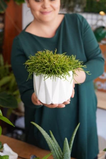 rhipsalis cassutha oasis