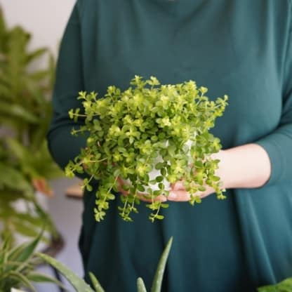 peperomia deppeana zielony słoik