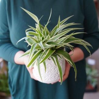 chlorophytum comosum ocean zielony słoik