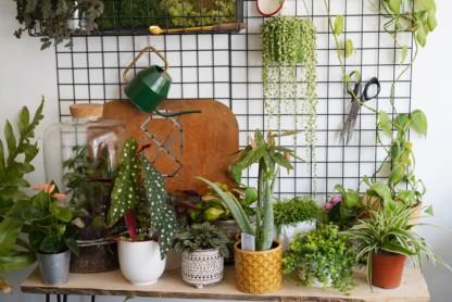 starzec rowleya variegata w kompozycji z innym roślinami doniczkowymi