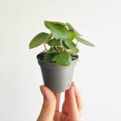 peperomia polybotrya raindrop mini zielony słoik