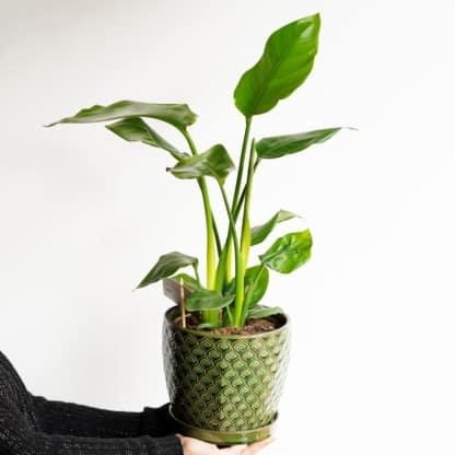 strelicja biała strelitzia nicolai zielony słoik