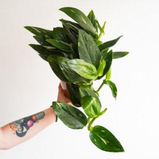 Monstera standleyana 'Variegata (Philodendron Cobra)