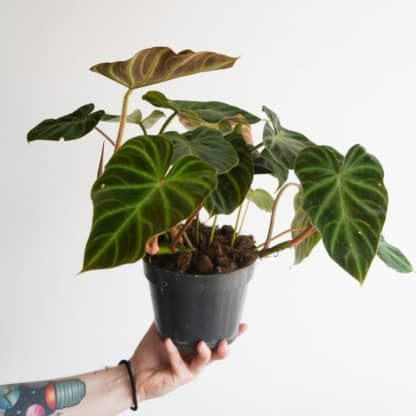Filodendron brodawkowaty 'Incensi' (Philodendron verrucosum)