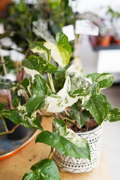 syngonium podophyllum 'Albo Variegata' / 'Emerald Gem' zielony słoik