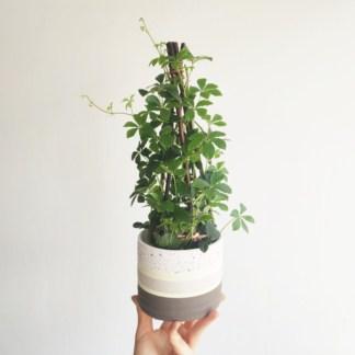 cissus striata Willow Zielony Słoik