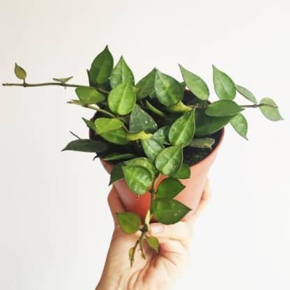 Hoya krohniana - zielony słoik
