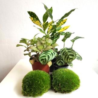 zestaw roślin do lasu w szkle - tropikalna dżungla