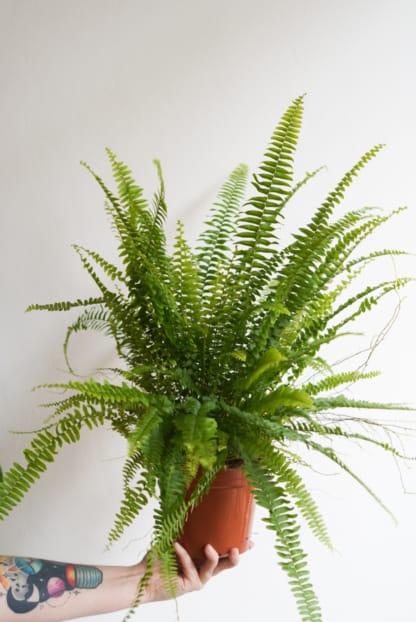 Nephrolepis exaltata 'Green Lady' - Nefrolepis wyniosły - paprotka