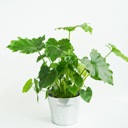 Filodendron 'Shangri-La' (Philodendron bipinnatifidum)
