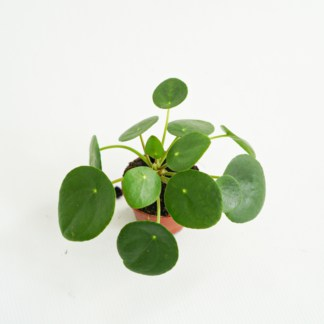 Pilea peperomiolistna MINI (Pilea peperomioides)