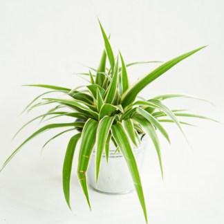 Zielistka 'Ocean' (Chlorophytum comosum)