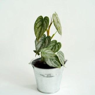 Filodendron - Philodendron brandtianum